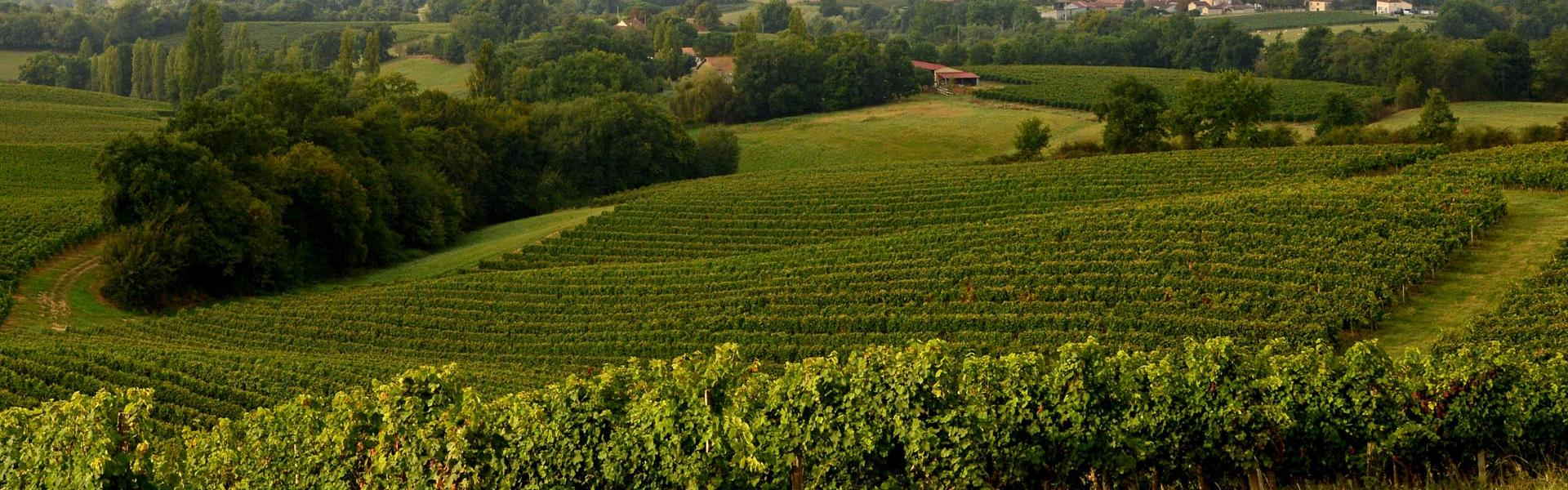 Vignes de l'AOP Saint-Mont