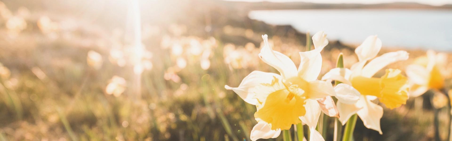 Jonquilles, narcisses : c'est aussi ça le printemps !
