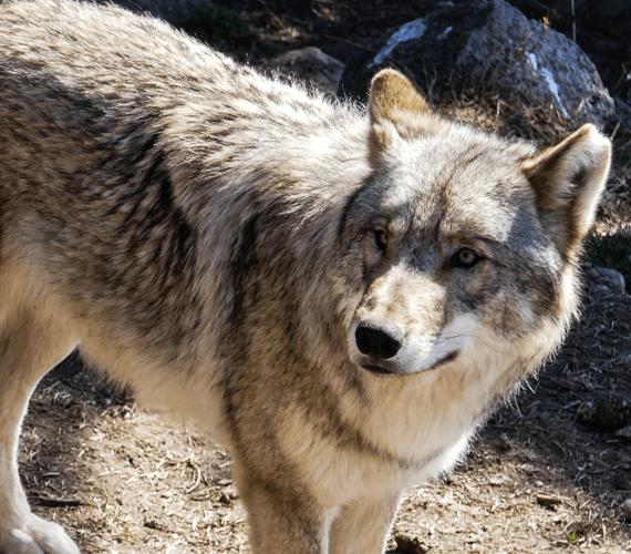 Loup, y es-tu ?