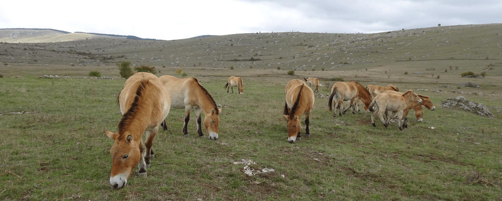 Réserve des chevaux de Przewalski, Lozère