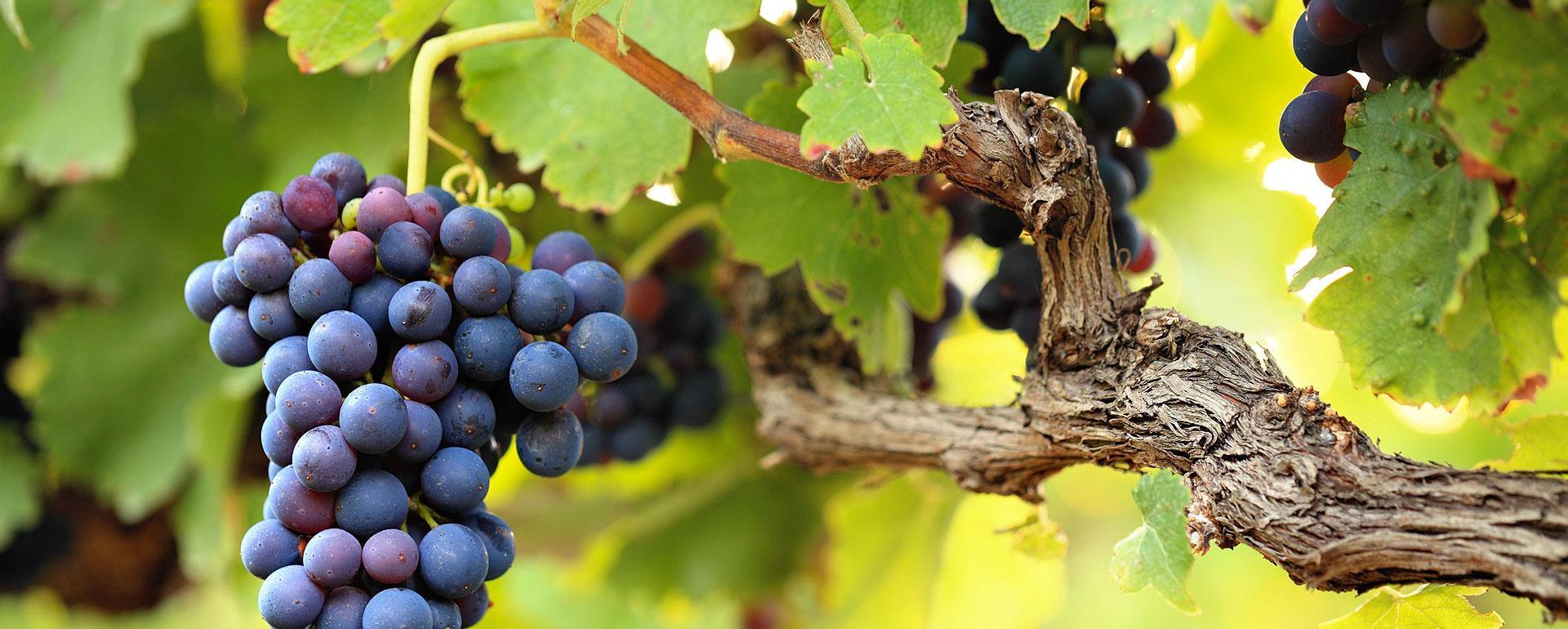 Sur les contreforts de Bruniquel, la vigne s'est fait une place au soleil