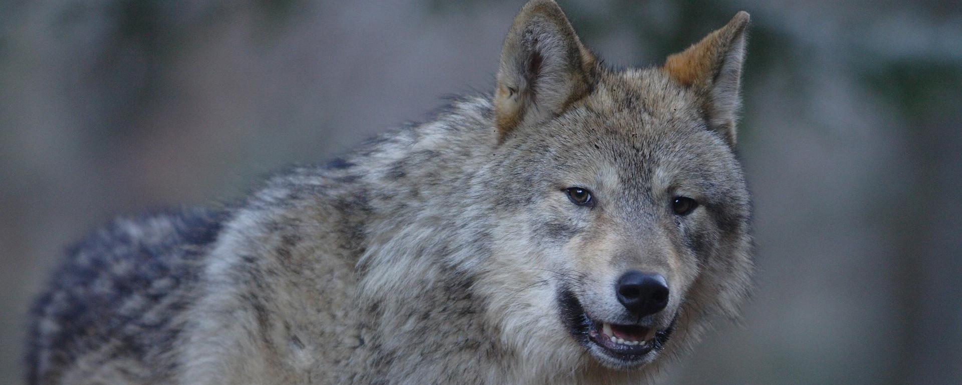 Parc animalier Maison des Loups - Ariège