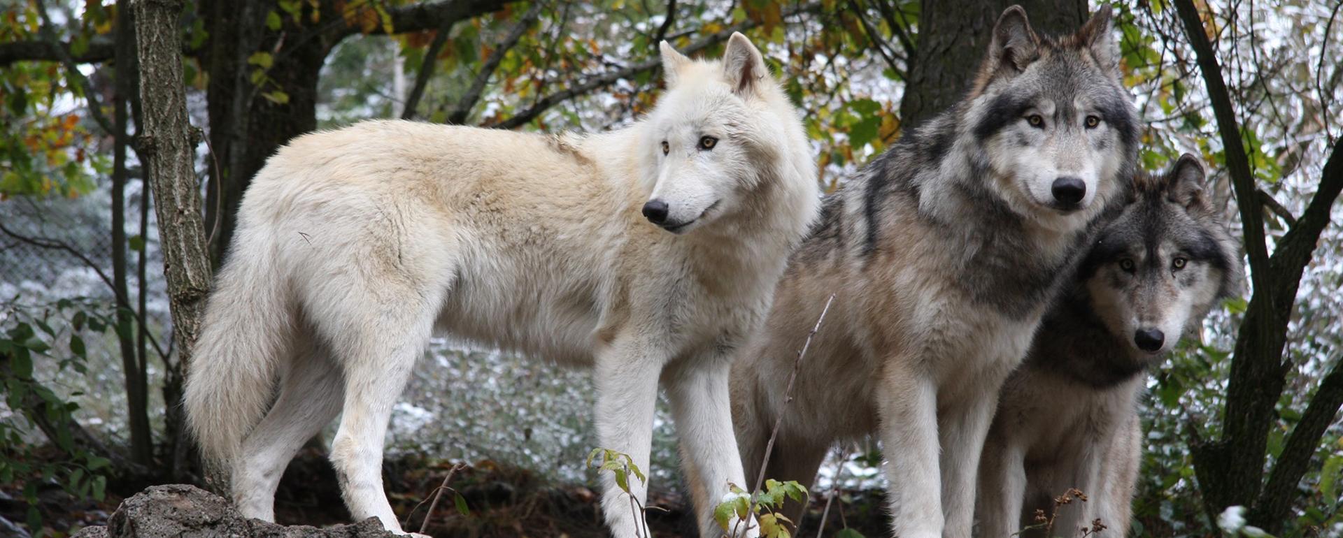 Parc animalier des Loups du Gévaudan - Lozère