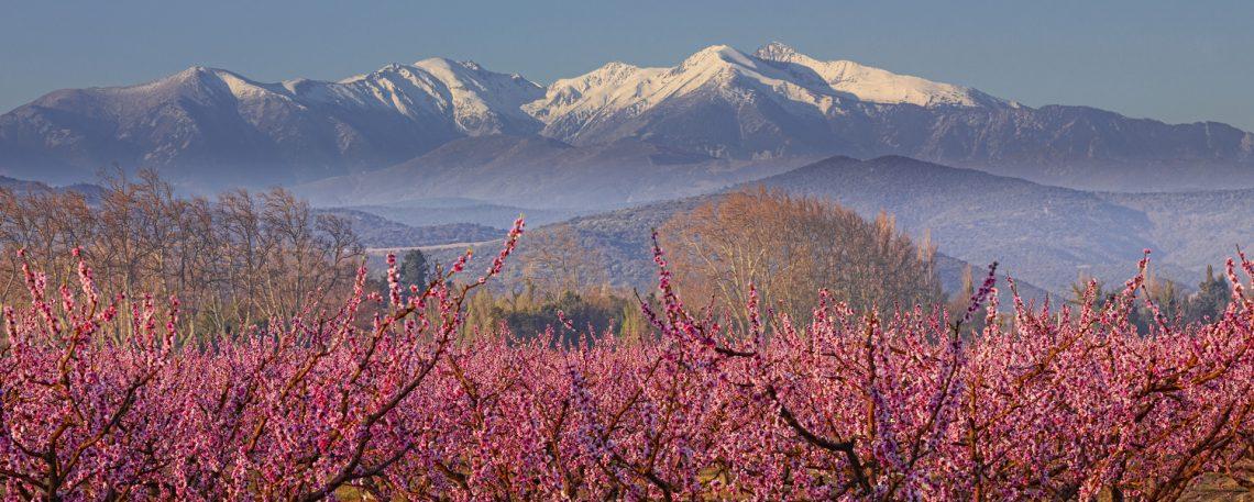 Massif du Canigou et vergers au printemps - Pyrénées-Orientales