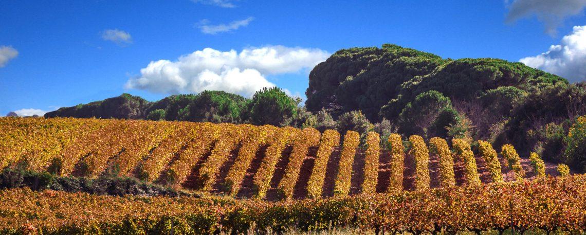 Vignes en automne - Costières de NîmesGard