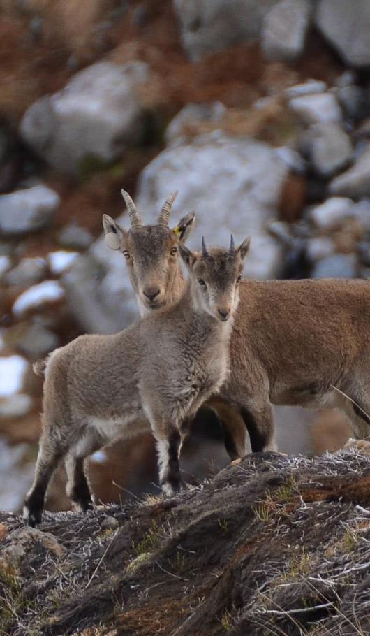 Isards - Parc naturel régional des Pyrénées ariégeoises - Ariège