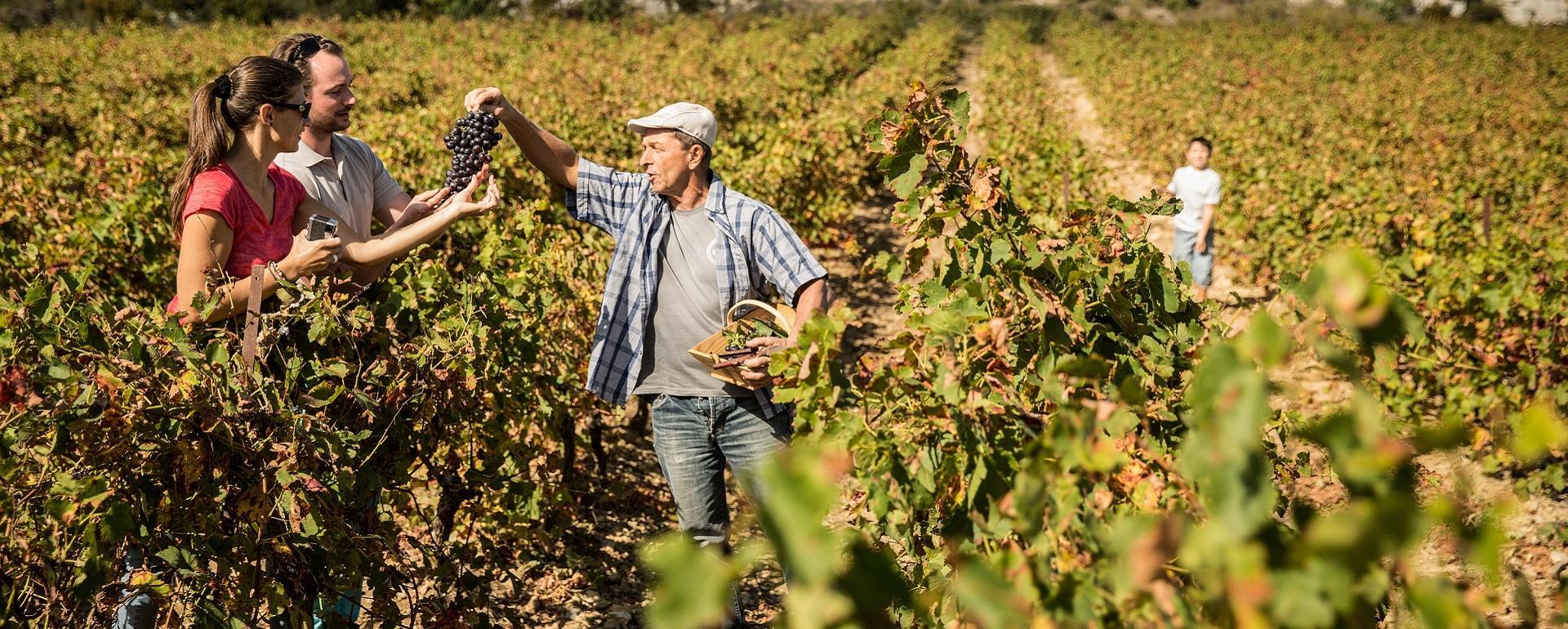 Vignes de La Clape (Aude)